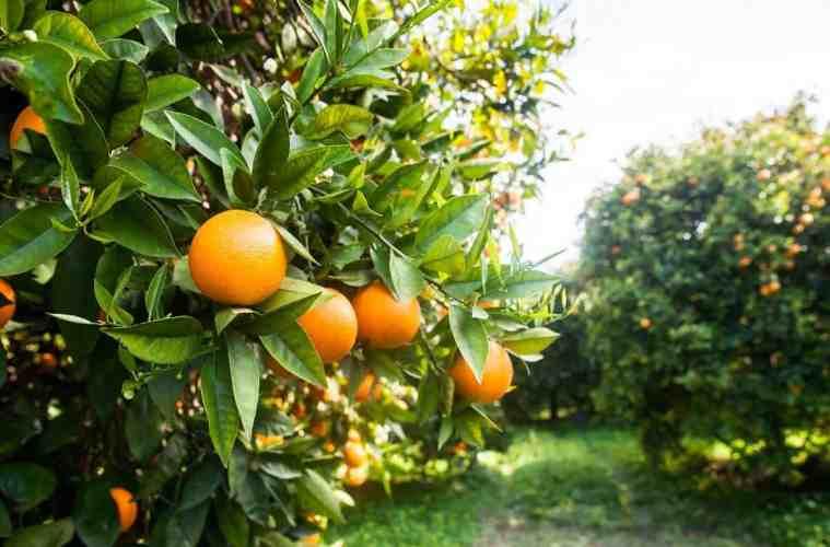 laranja valência