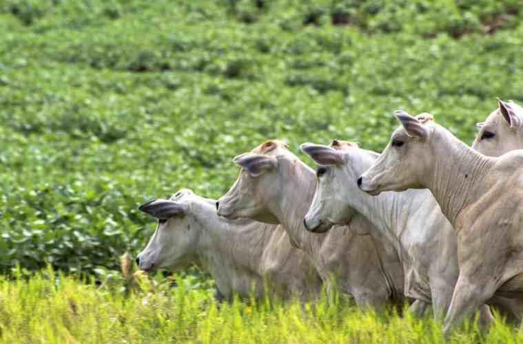 integração lavoura pecuária