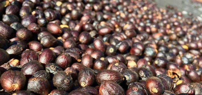 foto de grãos de café processados por via seca