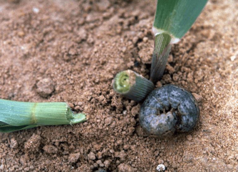 Dano em milho provocado por lagarta-rosca