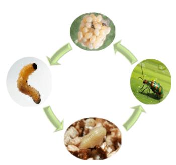 Ciclo biológico de Diabrotica speciosa vaquinha da soja