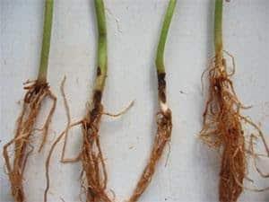 Podridão de raízes do feijoeiro