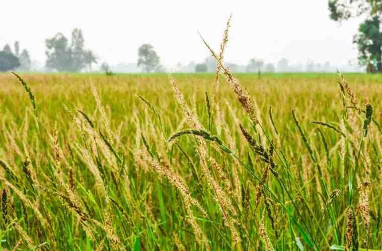 plantas daninhas do arroz