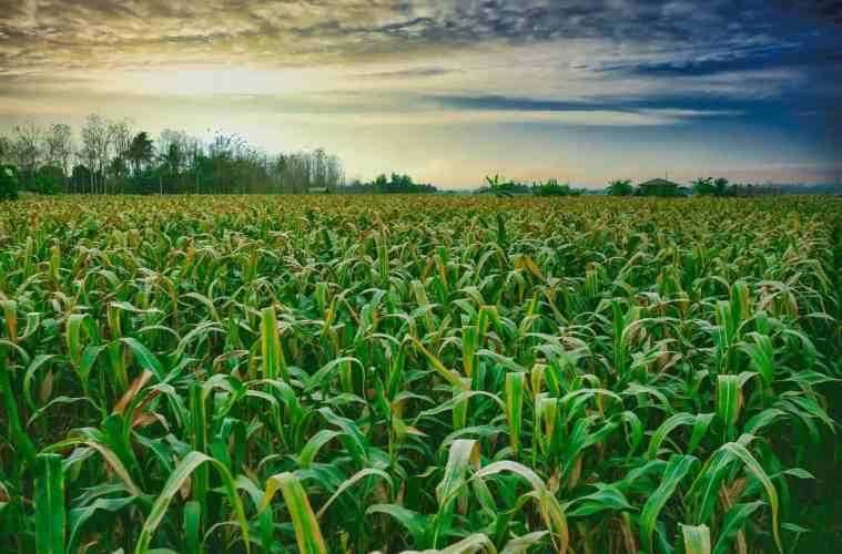 enfezamento do milho