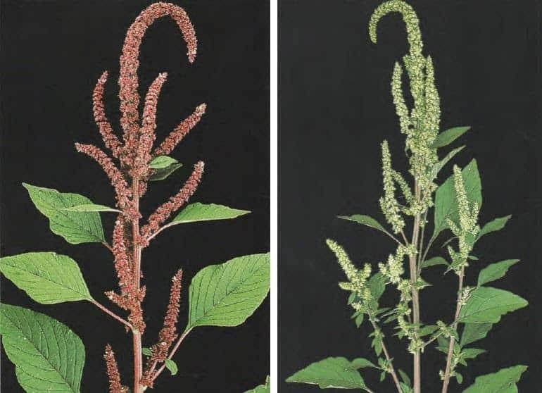 duas fotos de caruru (Amaranthus hybridus var. paniculatus e Amaranthus hybridus var. patulus), plantas daninhas do algodão