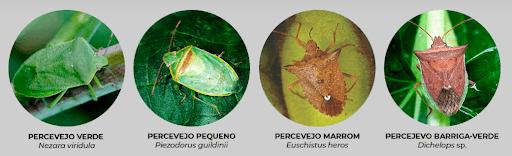 Foto de quatro percevejos diferentes, comuns na lavoura da soja.  Na sequência, percevejo verde, percevejo pequeno, percevejo marrom e percevejo barriga-verde.
