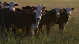 Témoignages éleveurs sur l'abattage des animaux