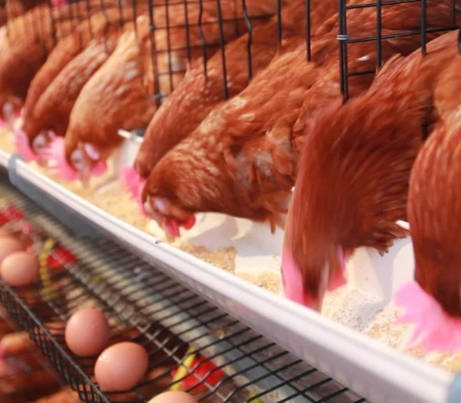 6 Things You Must Get Right For Successful Poultry Farming