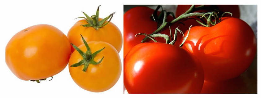 In mouse study, tomatoes lower skin cancer risk. But you need sunscreen.