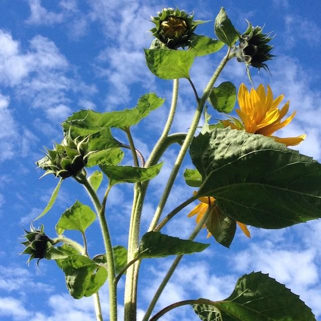 new growth sunflower fall 2015 aimee cartier blog