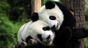 panda-sitting-on-wood