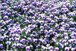 Foto von vielen Blüten