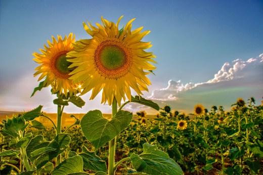 040 La Flor del Sol Matanza de los Oteros
