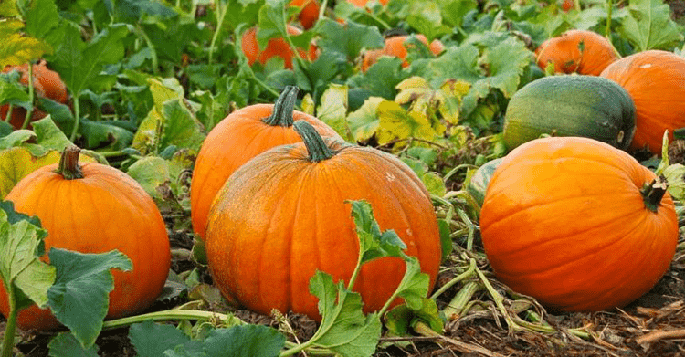Best Pumpkin Patches in the Triad Area NC