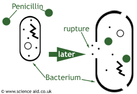 Effects of Pencillin on Bacterium