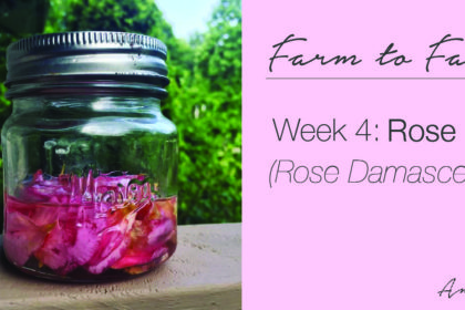 How to make rose oil (rose damascena) | farm to face