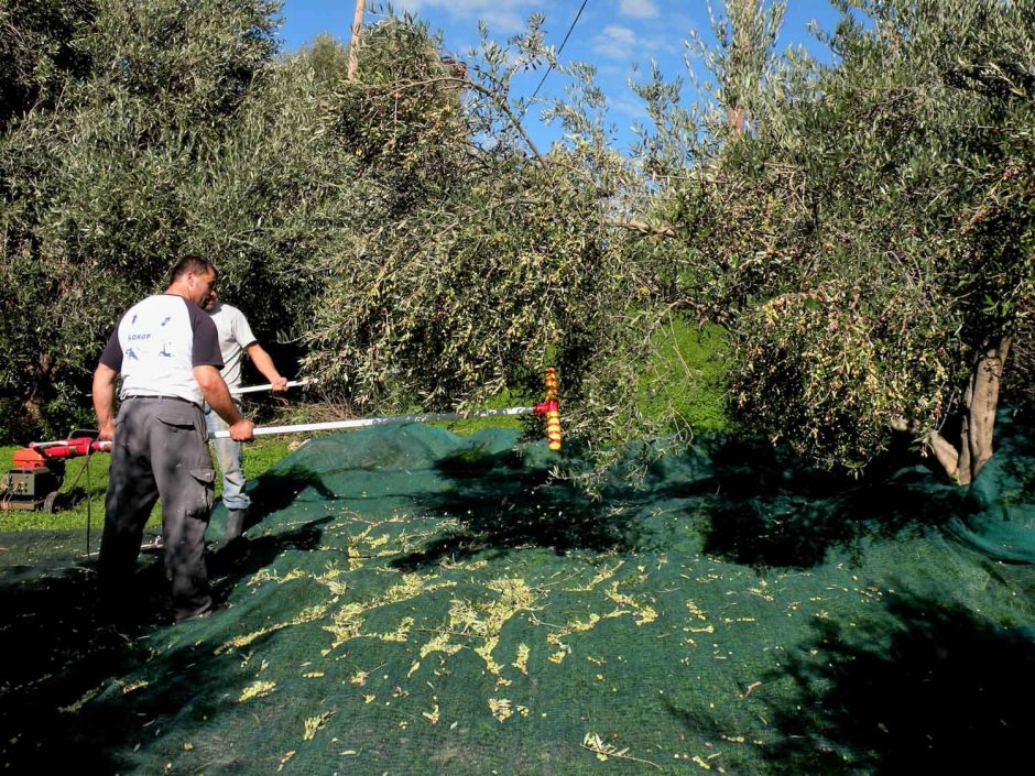 Olive Harvest in Crete: Pick Olives at the Amazing Villas