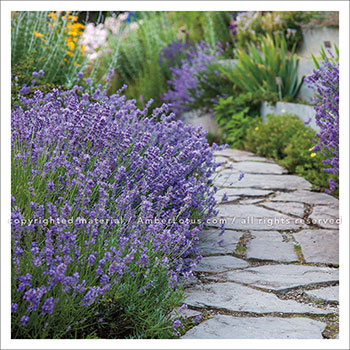 Image from our Herb Gardens 2017 wall calendar. Photograph © Laura Berman. Click image for more info.