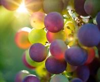 vite da vino