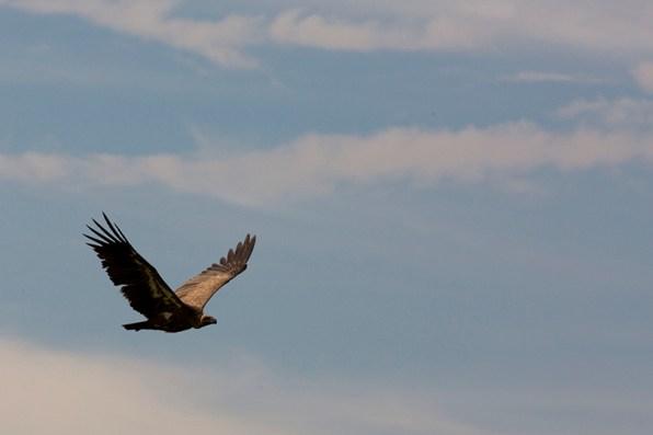 juvenile Rüppel's Vulture