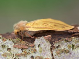 female Ghost Moth