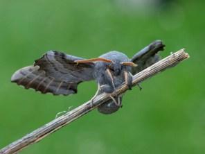 Poplar Hawk