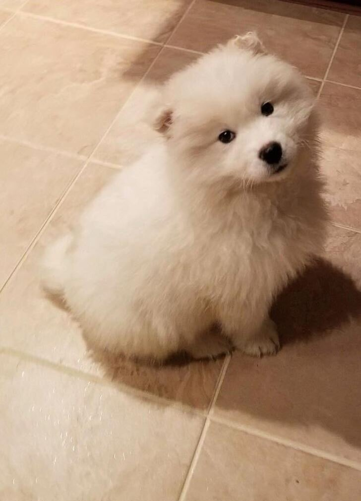 Our first nugget -  Benji the Samoyed