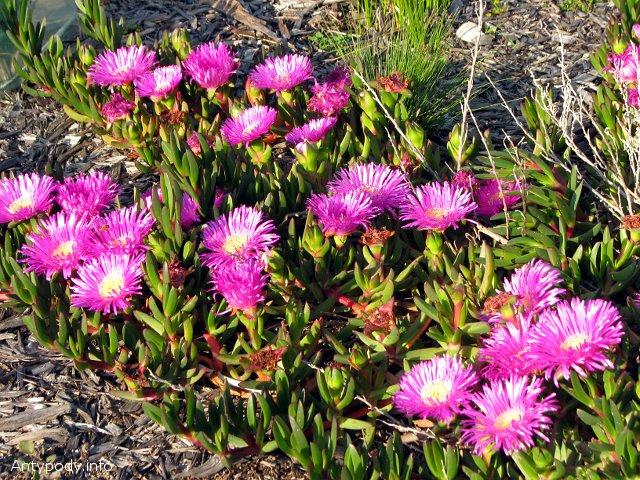 Kwiatki w Australii
