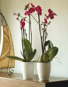 Orquidea lila de dos varas