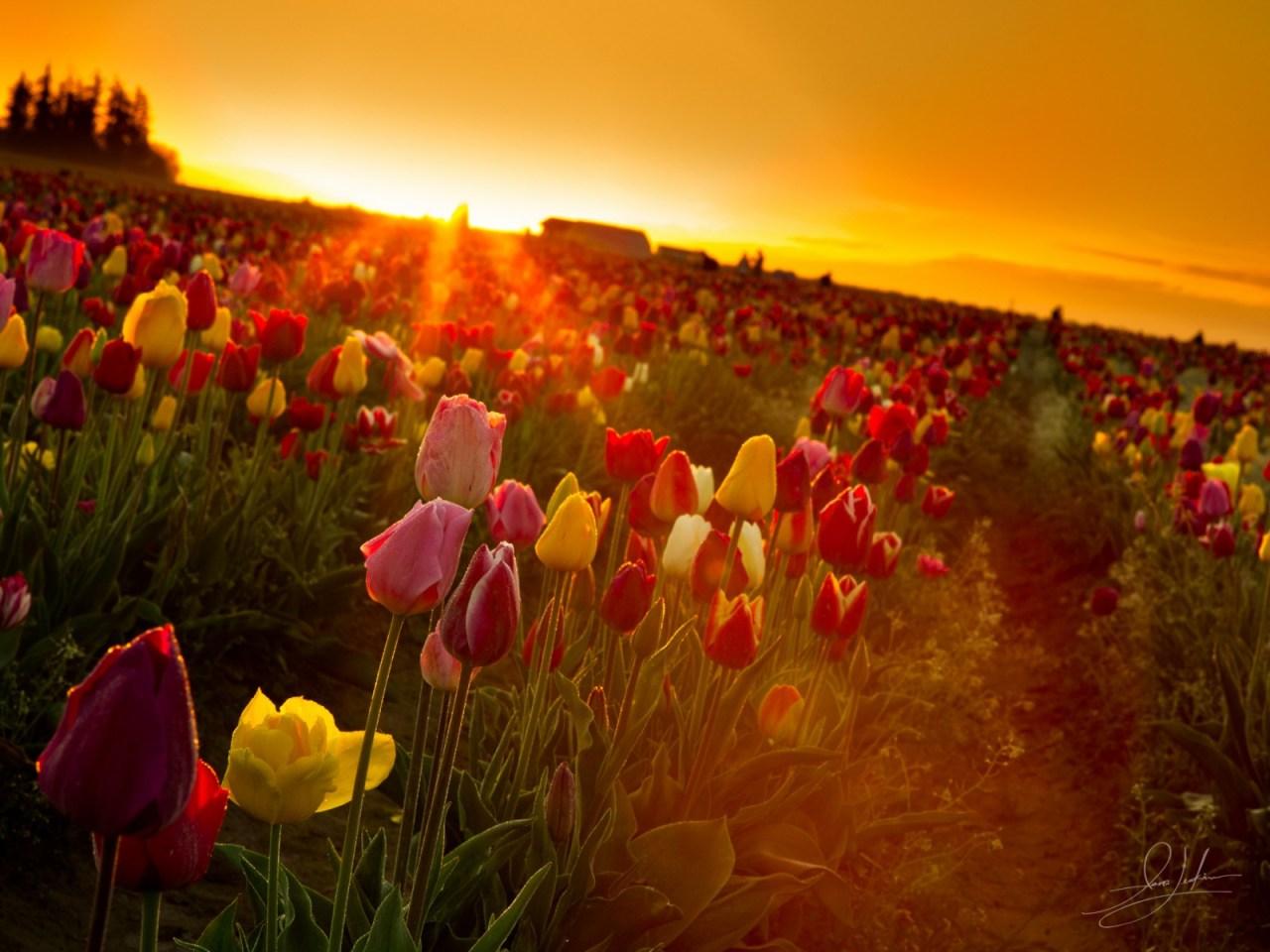 Tulip Feild