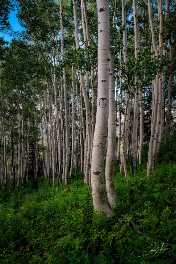 Forest Of Aspen Trees In Colorado