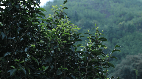 Tea Plants Growing in China 2