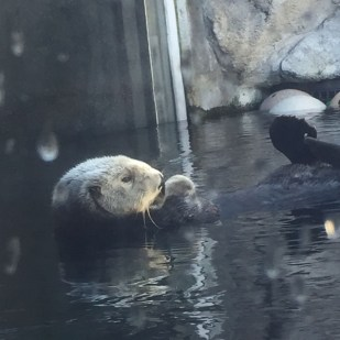 A favorite at the Monterey Bay - cute Sea Otters