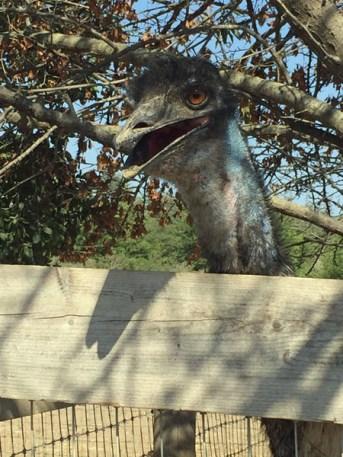 Edward the Ostrich
