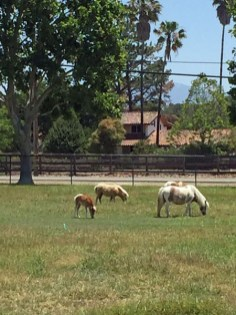 Cute Miniature Horses outside of Solvang