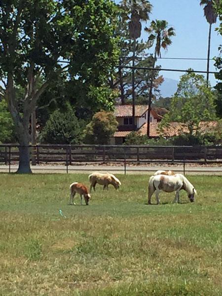 Cute Miniature Horses outside of Solvang