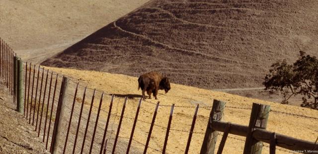 Bison in Solvang, CA
