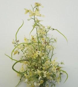 Moringa-Flower-BCVL-2019