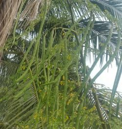 Moringa Seeds Baca Villa