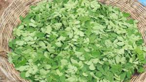 fresh-organic-moringa-leaves-baca-villa