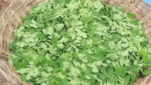 fresh-organic-moringa-leaves-baca-villa