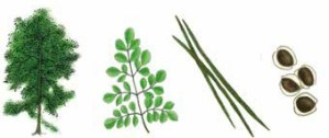 Processing-of-Moringa