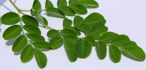 Moringa-Fresh-leaves-Baca-Villa