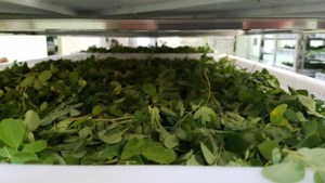 Organic-Moringa-leaves-drying