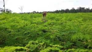 Organic-Moringa-farm-Cambodia