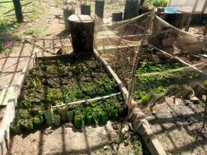 sloek-chaa-leaves-Moringa-nursery