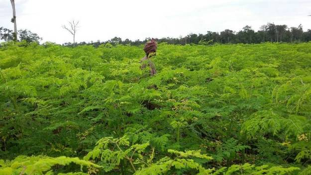 BCVL-Organic-Moringa-Farms-Cambodia