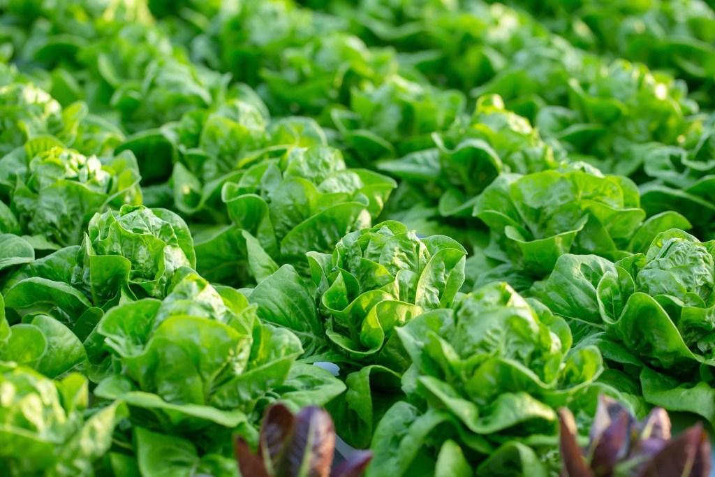 Fresh butter leaf lettuce