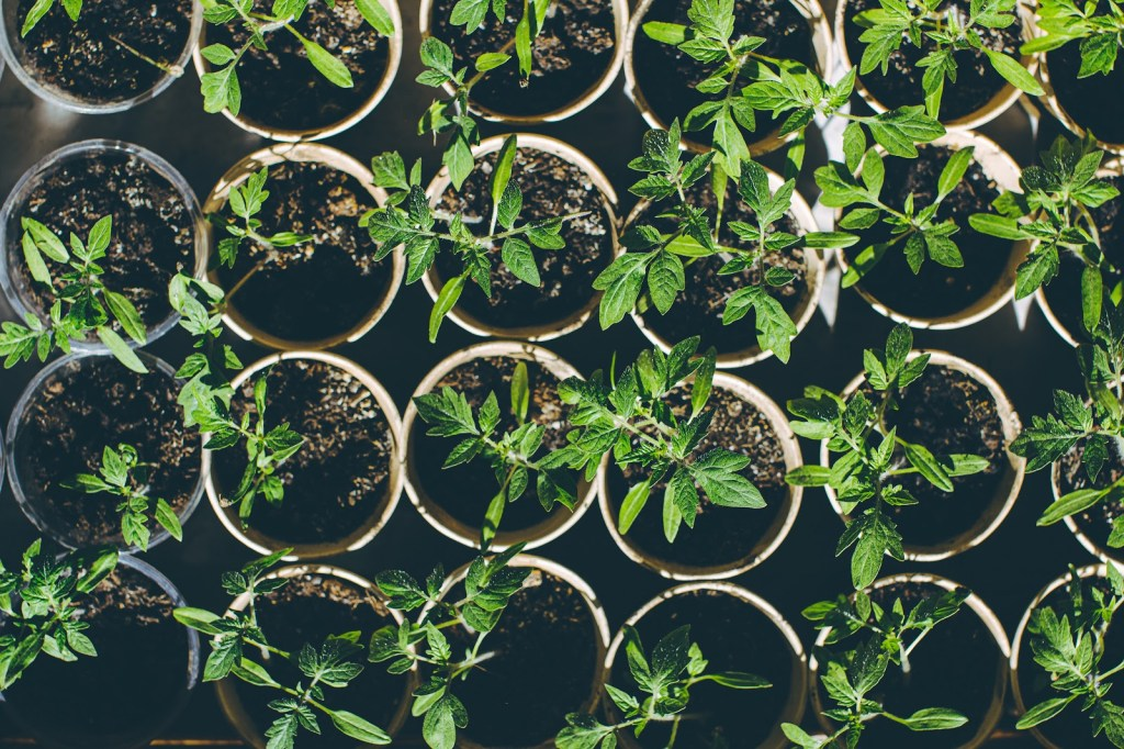 Growing tomatoes from seeds: Seedling tomato plants