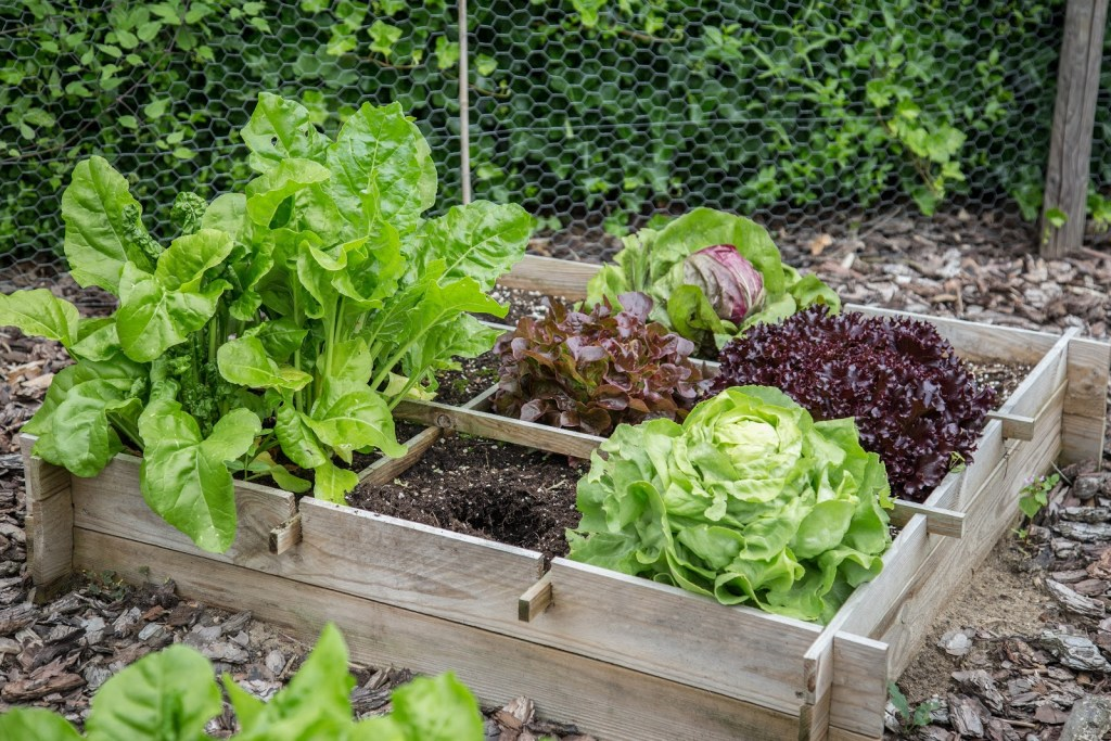 Raised vegetable garden: Variety of vegetables in a raised garden bed